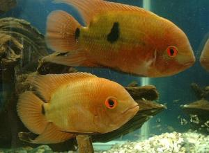 Chocolate Cichlids